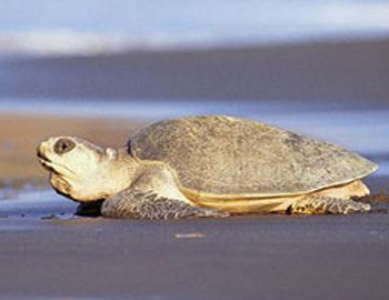 gopalpur rideley turtle tours